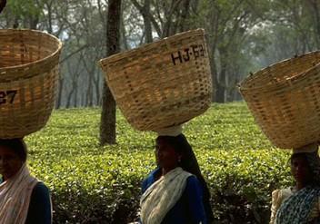 Assam, Schwarzer Tee, Indien, second flush, ostfriesentee ,fermentation