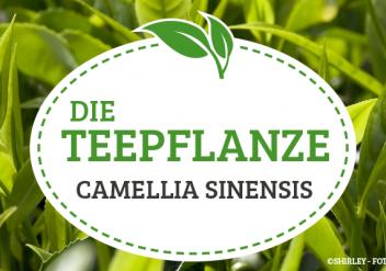 Die Teepflanze, Produktion, Anbau und Herstellung von Tee