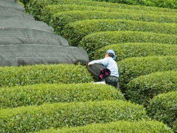 Gyokuro Teefeld in Japan mit Beschattungsmatten