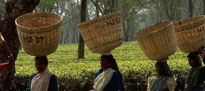 Assam: das größte Teeanbaugebiet Indiens