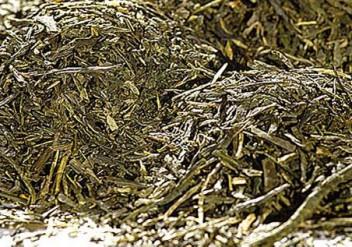 Sencha aus Japan: Grüner Tee Ariake