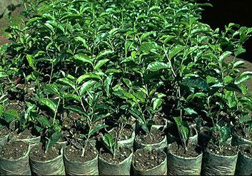 Zucht, Ernte und Produktion von Tee