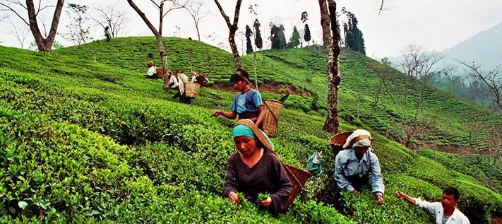 Flugtee aus Darjeeling, Teepflücker