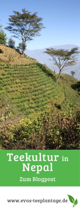 Teekultur-in-Nepal