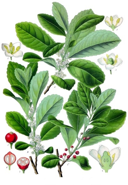 Botanische Zeichnung einer Mate-Pflanze