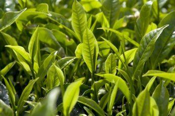 Frische Teeblätter, noch am Teestrauch