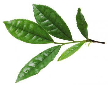 Teeblatt in Nahaufnahme