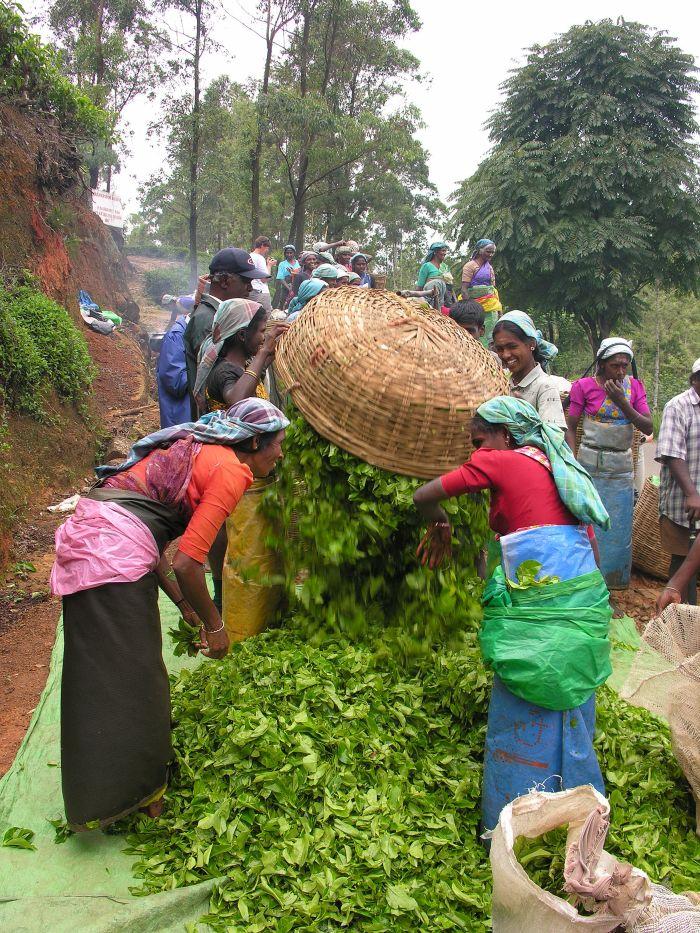 Teepflücker in Sri Lanka (Ceylon)