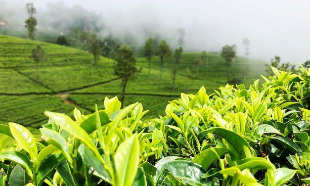 Die Fermentation von Tee