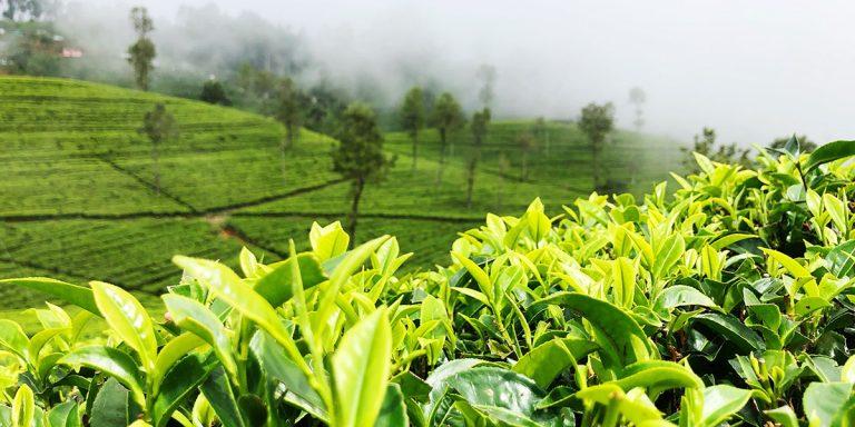 Über die Fermentation bzw. Oxdation von Tee