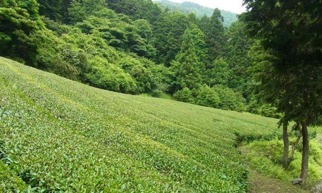 Teeanbau in Japan 2017 nach dem Super-Gau von Fukushima