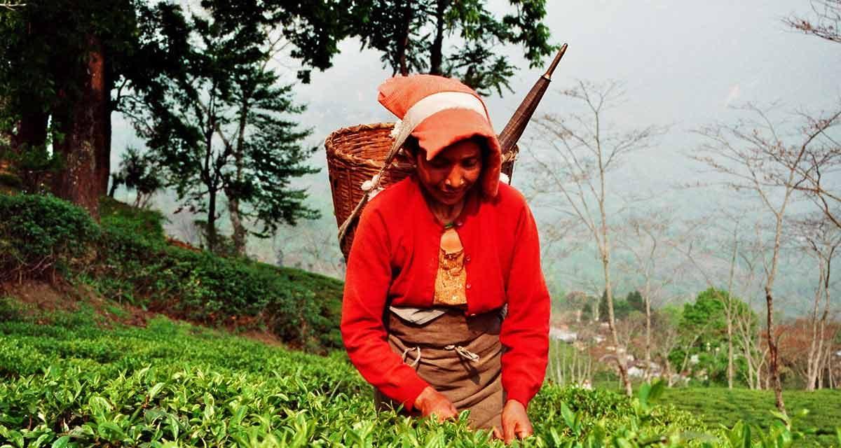 First Flush: Erste Tee-Ernte
