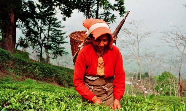 Streik im Teeanbau von Darjeeling: Das müssen Teetrinker wissen