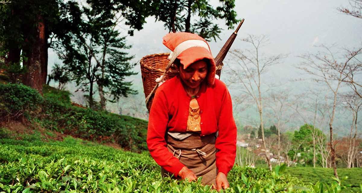 Teestreik in Darjeeling: Wird es noch Second Flush Tee geben?