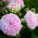 Rosentee: Mit Schönheit und Heilwirkung