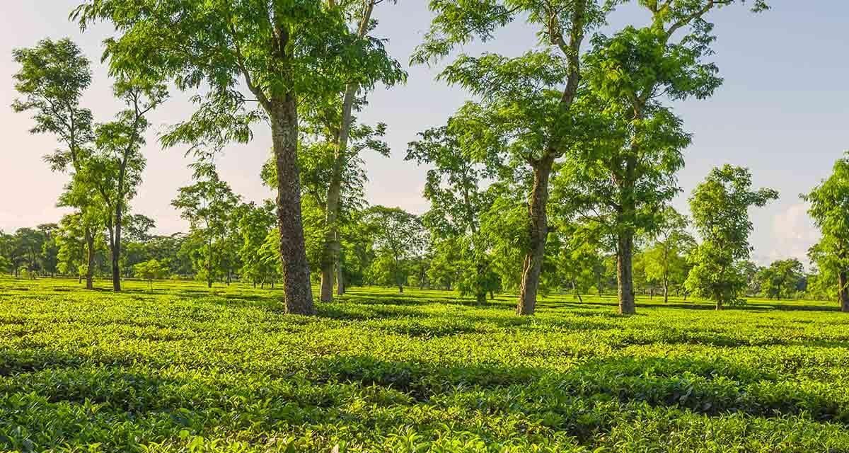 Assam Tee: die dunkle Schönheit unter den Schwarztees