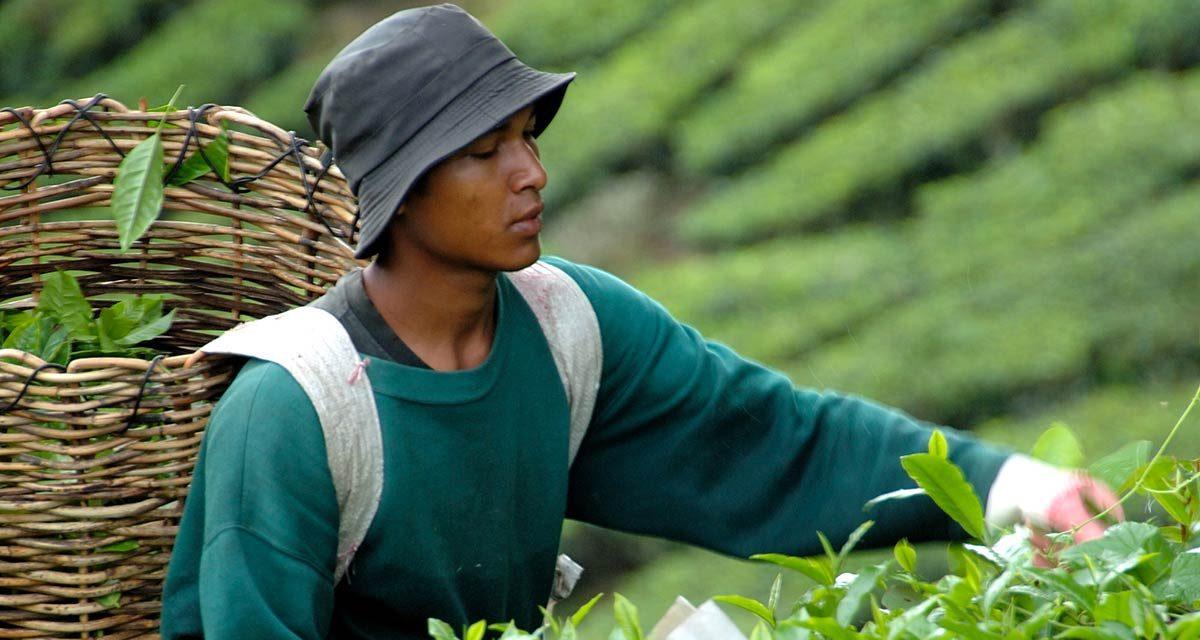 Schwarzer Tee: Produktion, Geschichte und Herkunft