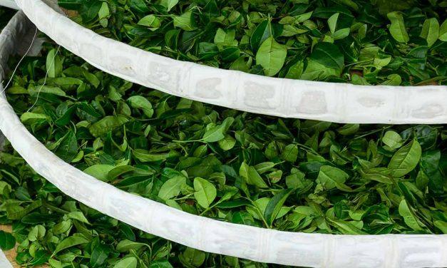 Wasserverbrauch und Tee – Wie ökologisch ist Teetrinken?