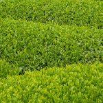 Shincha Tee: Feiner japanischer Frühlings Grüntee
