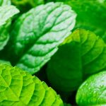 Pfefferminze Tee Zubereitung aus frischen Minzblättern