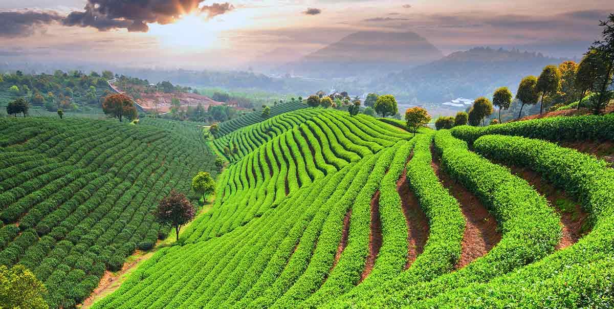 Chinesischer Tee: Sorten, Geschmack und Produktion
