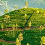Ceylon Tee – Schwarzer Tee aus Sri Lanka