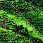 Darjeeling Tee – Der Champagner unter den Tees