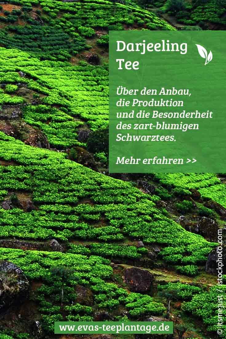 Darjeeling Tee: Anbau, Produktion, Besonderheiten und Geschmack des Schwarztees aus Indien