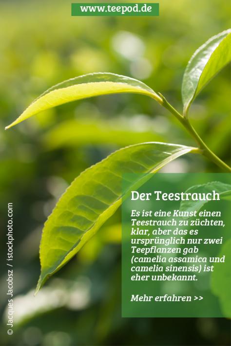 Der Teestrauch: Erfahre mehr über Camellia Sinensis und Camellia Assamica