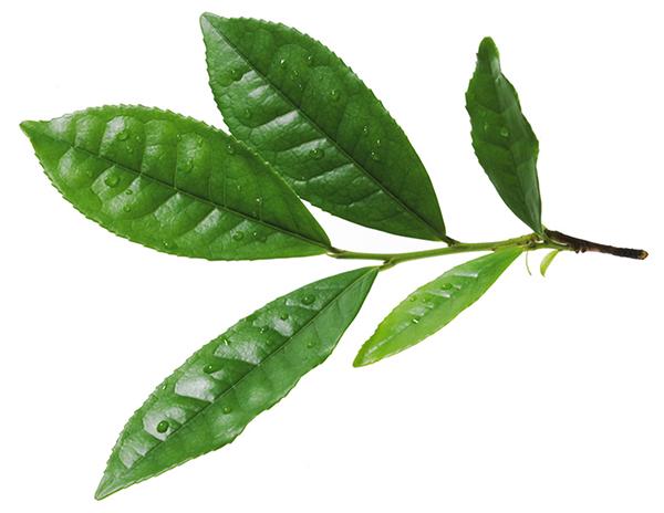 Bild vom Teeblatt eines Teestrauch