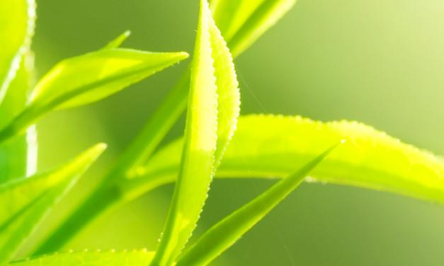 Der Teestrauch: Camellia sinensis und Camellia assamica